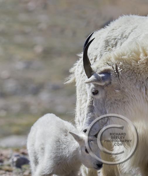 Mountain Goats