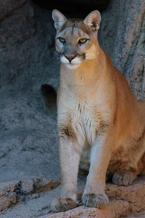 Mountain Lion-1304