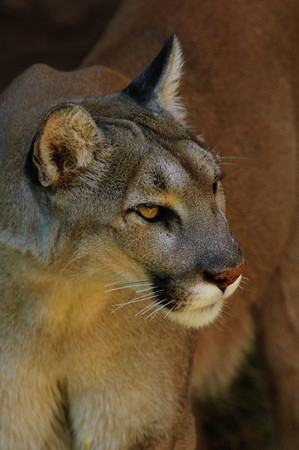 Mountain Lion-1299