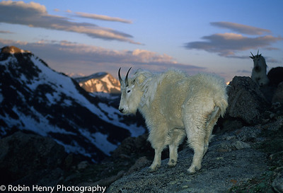 Mountain Goat-142