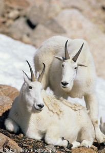 Mountain Goat-114