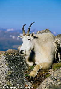 Mountain Goat-2-52