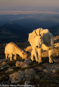 Mountain Goat-2-75