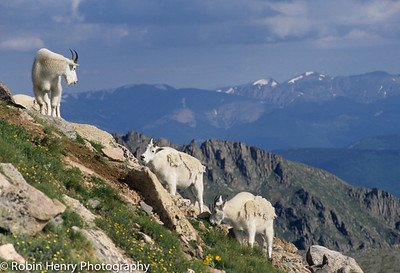 Mountain Goat-2-3