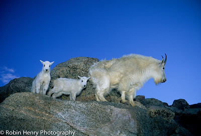 Mountain Goat-2-95