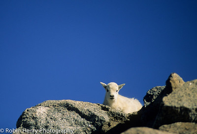 Mountain Goat-121
