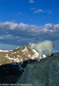 Mountain Goat-135