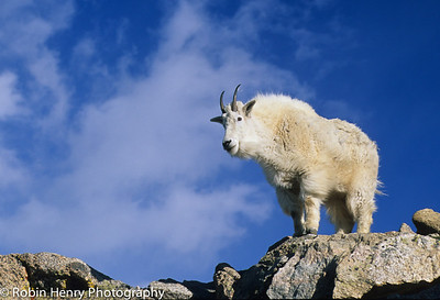 Mountain Goat-2-2
