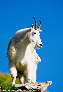 Mountain Goat-2-48