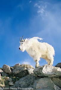 Mountain Goat-117