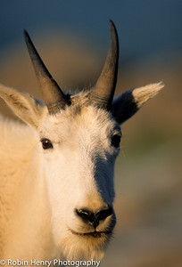 Mountain Goat-2-22