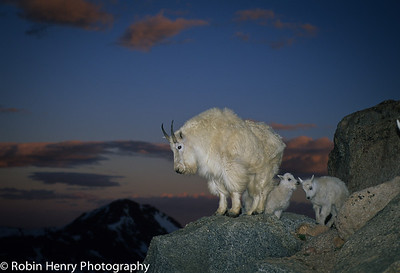 Mountain Goat-147