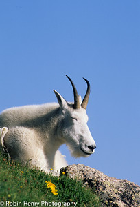 Mountain Goat-112
