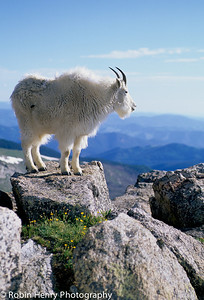 Mountain Goat-245