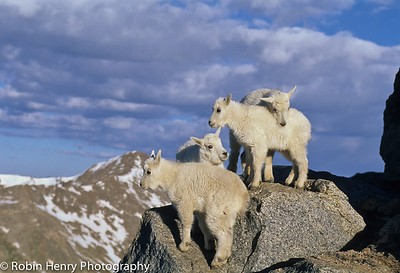 Mountain Goat-2-7