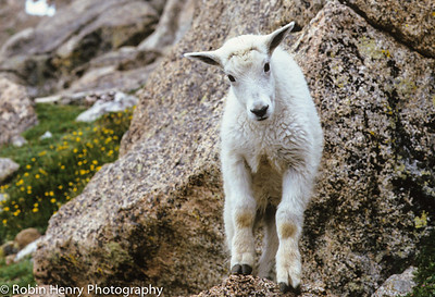 Mountain Goat-119