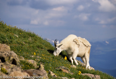 Mountain Goat-2-41