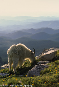 Mountain Goat-136