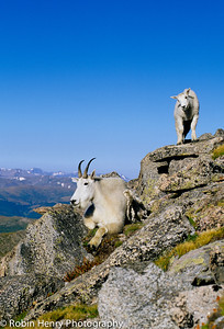 Mountain Goat-2-50