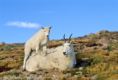 Mountain Goat-2-6