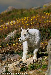 Mountain Goat-2-55