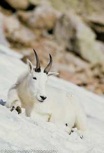 Mountain Goat-2-38