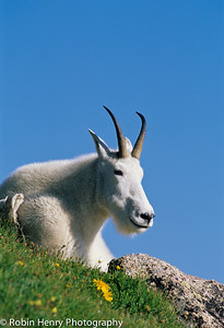 Mountain Goat-108