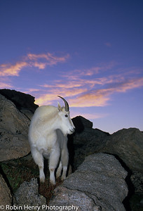 Mountain Goat-254