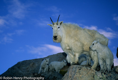 Mountain Goat-243