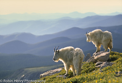 Mountain Goat-139