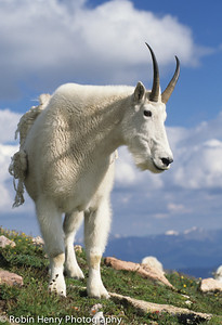 Mountain Goat-126