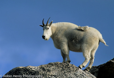 Mountain Goat-2-64