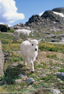 Mountain Goat-2-85