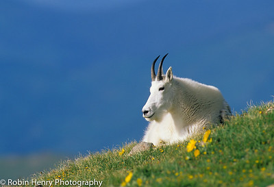Mountain Goat-107