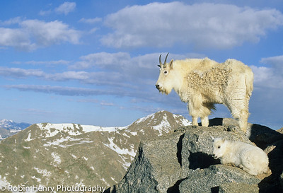 Mountain Goat-133