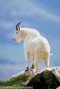 Mountain Goat-2-76