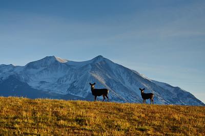 Mule Deer-2331
