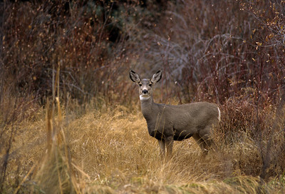 Mule Deer-242