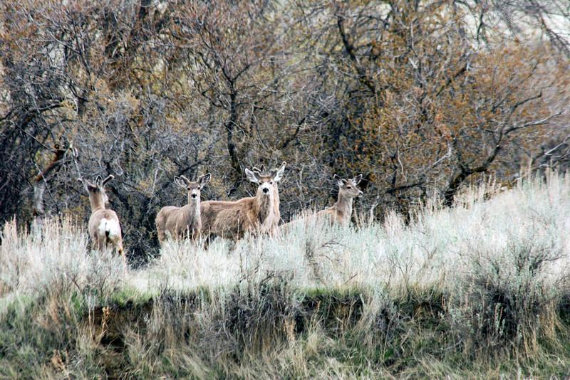 Mule Deer in Spring_RS81404