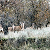 Mule Deer in Spring_RS81404