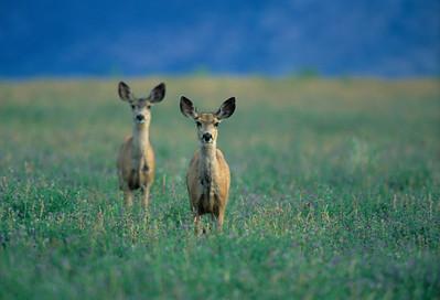 Mule Deer-387