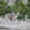Mule Deer Buck_SS5201
