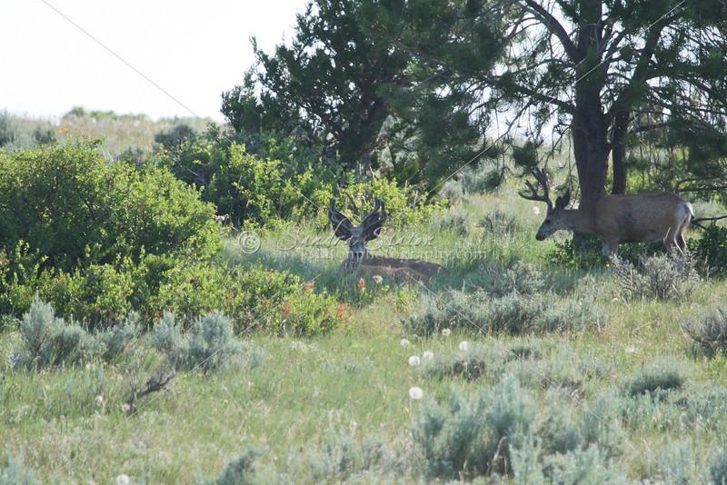 Mule Deer Bucks_SS9959