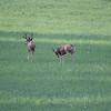 Mule Deer_SS0234
