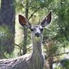 Mule Deer Doe_SS6798