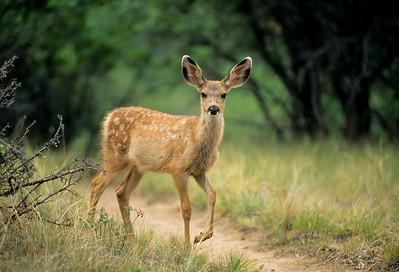 Mule Deer-301