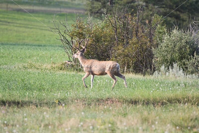 Mule Deer Buck_SS0266