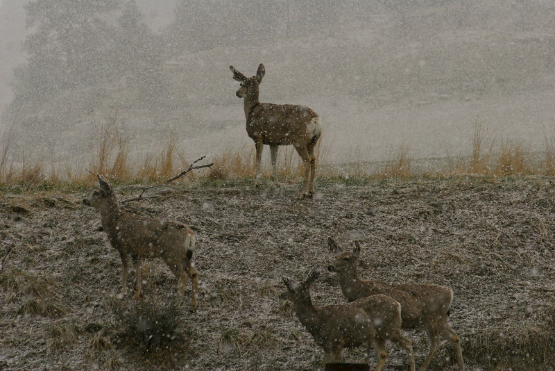Mule Deer in snow_RS0133