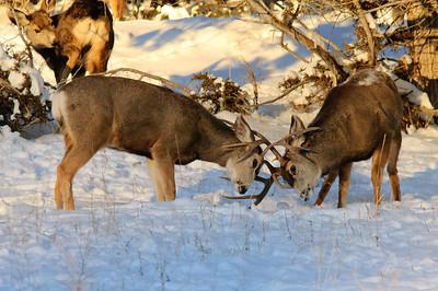 Mule Deer-0348