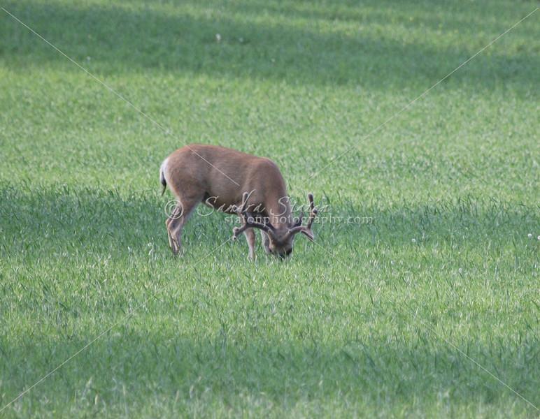 Mule Deer Buck_SS0297